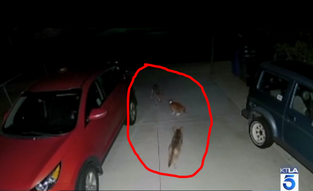 Cat Fights off Coyotes
